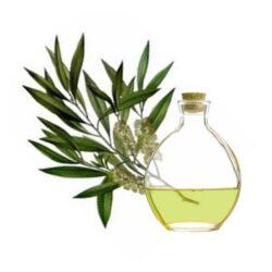 Árbol de té para adelgazar y muchas cosas más ¡Conoce sus Propiedades y beneficios!