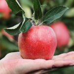 La manzana adelgaza ¡Conoce el beneficio de esta fruta!