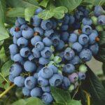 Arándanos azules ¡Conoce los beneficios para tu salud!